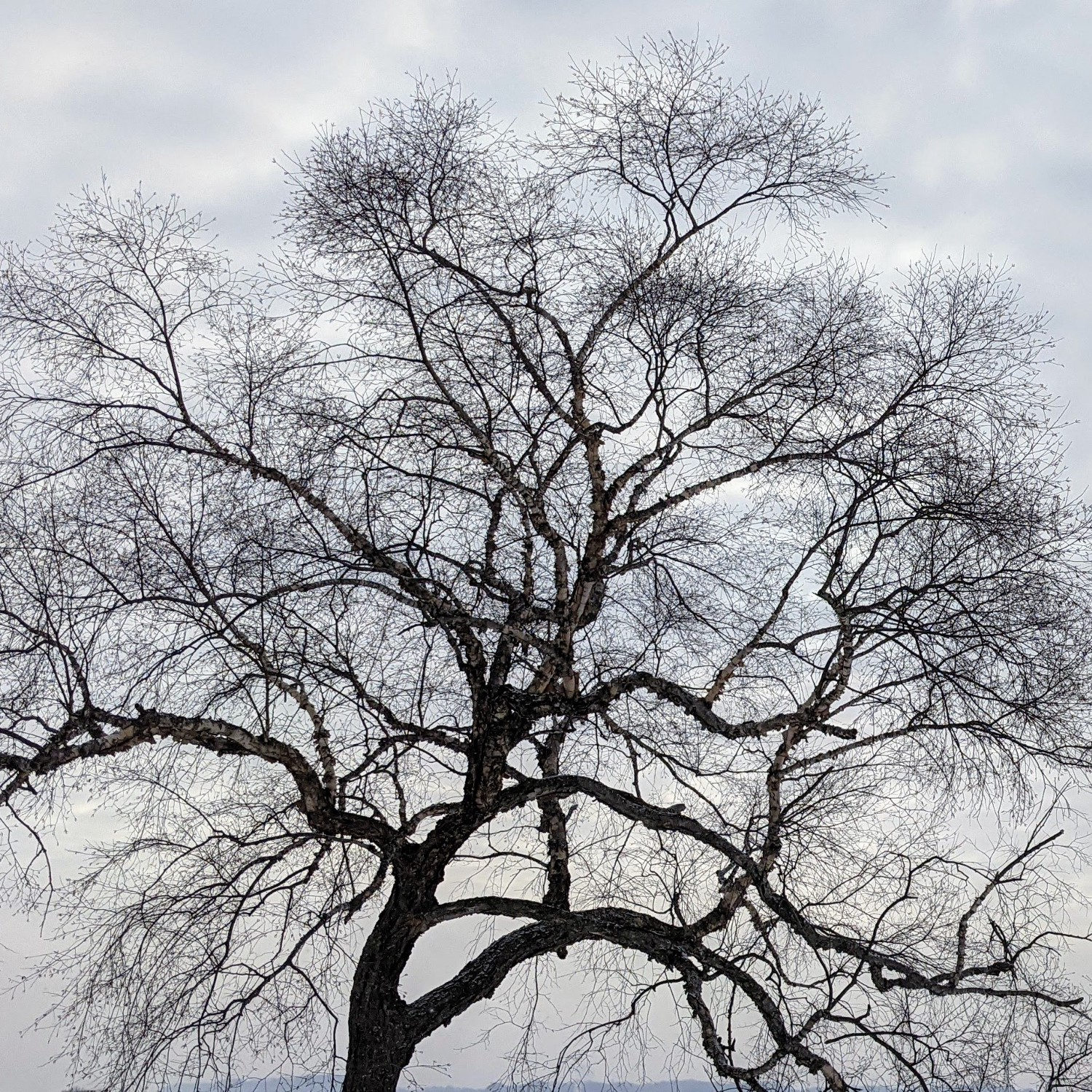 A tree with bare branches against a gray winter sky.